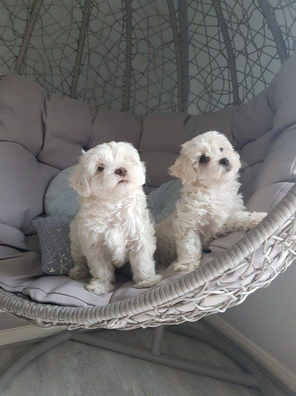 Two Maltese Puppies Now Ready Beagle Puppy Puppy Adoption Puppies
