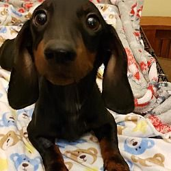New York Ny Dachshund Meet Cooper A Pet For Adoption I Need