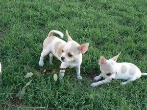 Lovely Mini Toy Chihuahua Puppies For Adoption Beckley Wv
