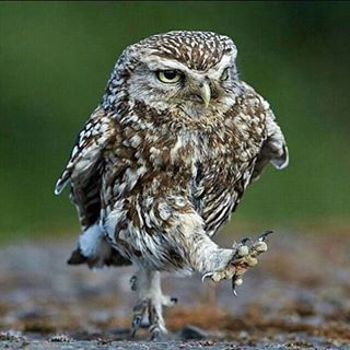 "A Little Owl ""Power Walking"". by Austin Thomas on Animals,avian Nature Animals, Animals And Pets, Funny Animals, Cute Animals, Wildlife Nature, Beautiful Owl, Animals Beautiful, Funny Owls, Photo Animaliere"