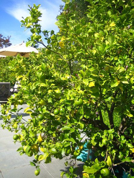 Lime Trees Facts Garden Trees Backyard Farming Lime Tree