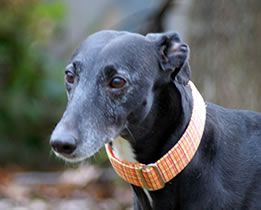 American Greyhound Adoption And Fostering Of Indiana Greyhound Adoption Greyhound Adoption