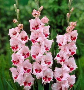 Gladiolus Flowers Planting Growing Caring For Glads In 2020 Gladiolus Flower Lily Seeds Gladiolus Bulbs