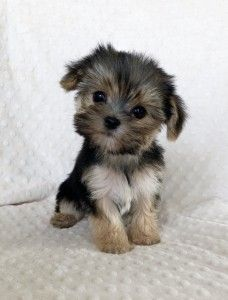 """Name: Morkie """"BEEBS"""" Breed: Morkie (Yorkshire Terrier & Maltese) Age: 12 weeks old Gender: Male Estimated Adult Size: appx PRICE: sold He has the sweeeetest teddy Teacup Pomeranian Puppy, Cute Teacup Puppies, Morkie Puppies, Tiny Puppies, Cute Little Puppies, Yorkshire Terrier Puppies, Yorkie Puppy, Cute Dogs And Puppies, Chihuahua"""
