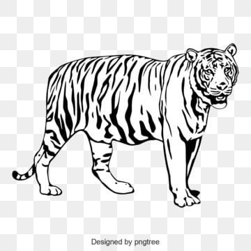 Black And White Tiger Body Image Silhouette Animal Monochrome Png And Vector With Transparent Background For Free Download In 2021 Black And White Cartoon White Tiger Black And White Background