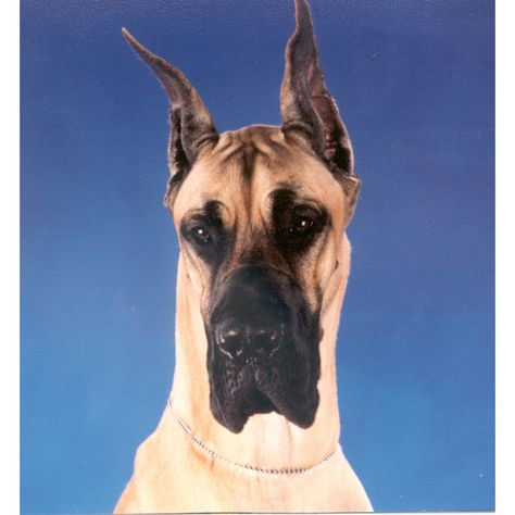 Pin By Kayce Cooper On Things To Wear Great Dane Dogs Great