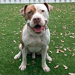 Pin By Lisa A On Adoptable Dogs Pets Dogs American Bulldog Mix