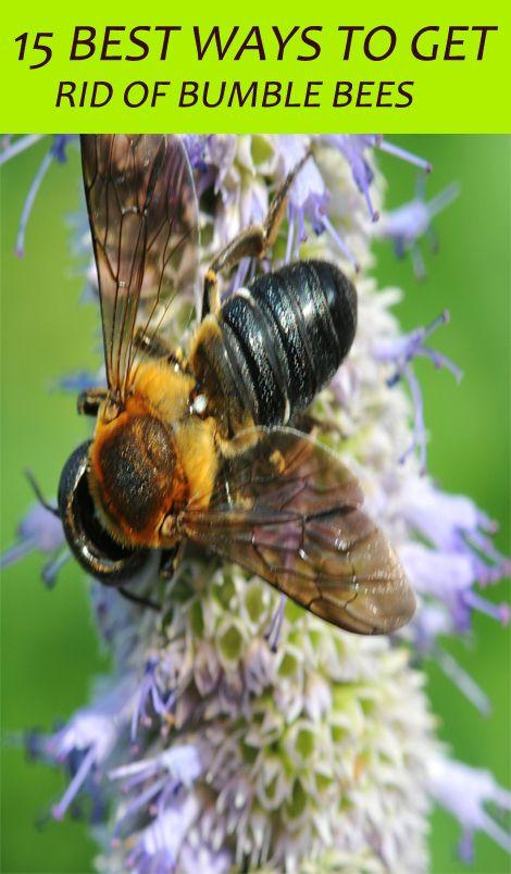 Natural Ways To Get Rid Of Bumble Bees Wood Bees Carpenter Bee