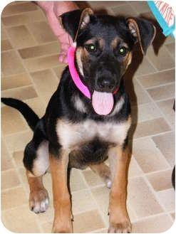 Dixie Adopted Puppy Waterbury Ct German Shepherd Dog Doberman Pinscher Mix Dogs Dog Breeder German Shepherd Dogs