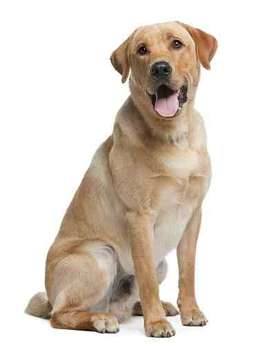 Labradors Can Be Very Friendly With Strangers Which Means That They Are Not Great Guard Dogs Labrador Retriever Dog Labrador Retriever Retriever Dog