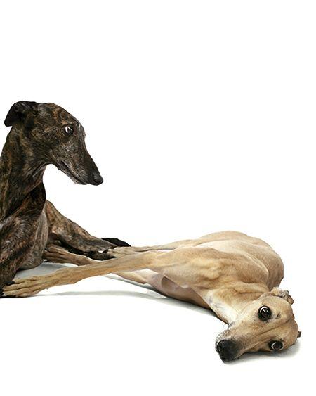 GALGOS de BARBARA KORANT. Greyhound puppy dog