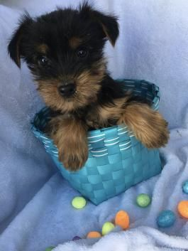 Rusty Yorkshire Terrier Puppy For Sale In Belleville Pa 2020