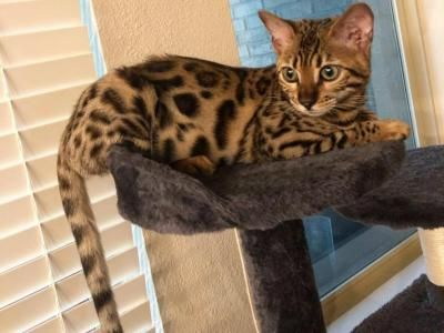 Evie Female Bengal Kitten For Sale In Texas United States Profile Id 27509 Bengal Kittens For Sale Bengal Kitten Kitten For Sale