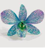 buy blue orchids