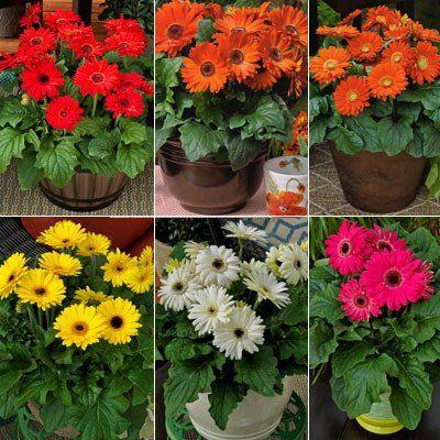 Gerbera Bengal Mix F1 Gerbera Gerbera Daisy All Flowers
