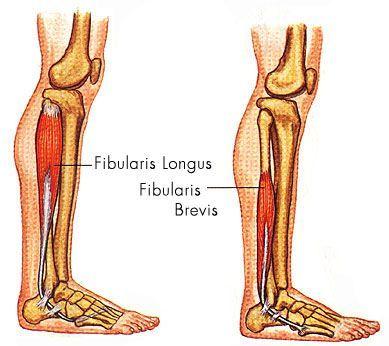 Image result for Fibularis (peroneus) longus | MUSCULOSKELETAL ...