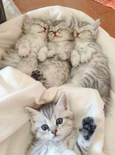 Rare Kittens For Sale Near Me With Cute Animals Cats Sleeping Kitten Cat Sleeping Cats Kittens