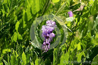 Wisteria Flowering Plant With Partially Open Pendulous Racemes Containing Purple To Violet Petals Surrounded With Dense Leaves Planting Flowers Plants Wisteria
