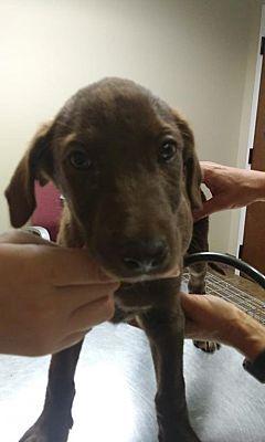 New York Ny Labrador Retriever Meet Moonstone A Dog For Adoption Kitten Adoption Pets Dog Adoption