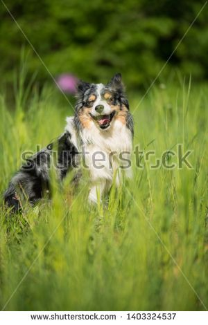 Stock Photo Miniatur Australian Shepherd Dog In A Meadow Australian Shepherd Dogs Buy Pets Pets