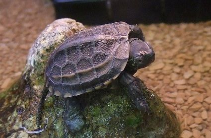 Reeves Turtle Small Pet Turtles Pet Turtle Turtles That Stay Small