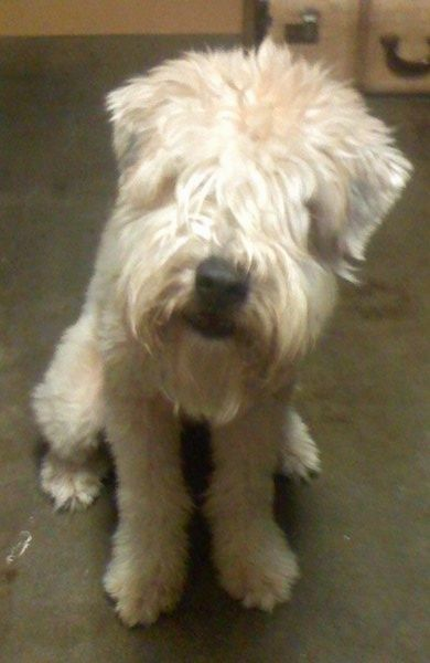 Front View A Tan Soft Coated Wheaten Terrier Dog Is Sitting