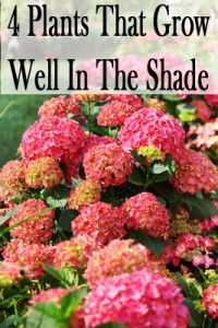 4 Plants that grow well in the shade