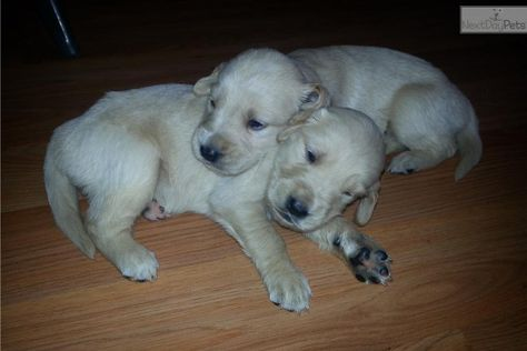 Meet Male A Cute Golden Retriever Puppy For Sale For 500 Golden