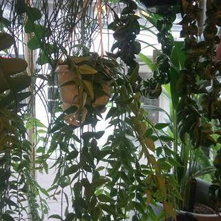 rhipsalis hashtag on Instagram • Photos and Videos | Plants
