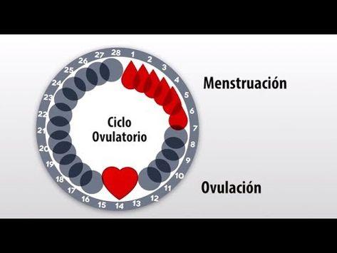 Infografía que explica detalladamente cómo identificar los días fértiles de la mujer, y cómo calcular la ovulación. El cálculo de los días fértiles de la muj...
