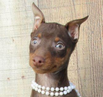Litter Of 9 Miniature Pinscher Puppies For Sale In Foyil Ok Adn