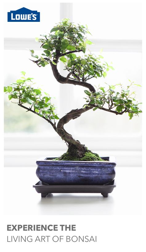 500 Bonsai Ideas Bonsai Bonsai Tree Bonsai Garden