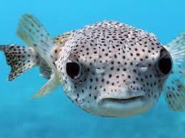 Pufferfish Puffer Fish Fish Creatures