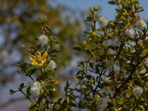 Cancerbush Org Uk Treat Cancer Herbs For Health Natural Medicine