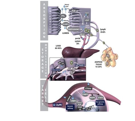 Vitamin A absorption pathway