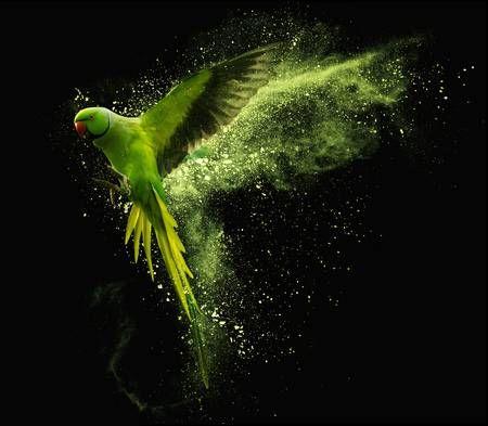 Perroquet Vert Perruche Alexandrine Perruche Avec Des Nuages De Poudre Coloree Isole Sur Fond Noir Perroquet Vert Fond Noir Perroquet