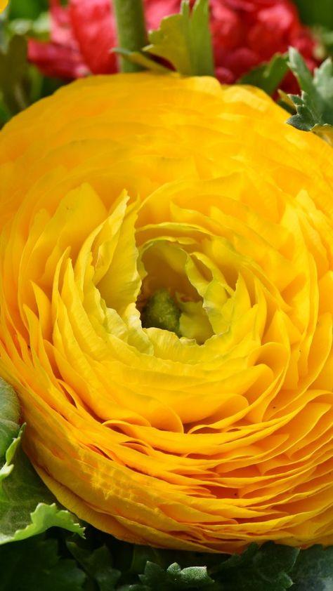 720x1280 Wallpaper Ranunculus Yellow Flower Close Up Rose Flower Wallpaper Flower Wallpaper Easy To Grow Flowers