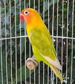 Lovebird Pastel Ijo Aneka Jenis Burung Lovebird Burung Burung Cantik Burung Liar