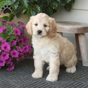 Cockapoo Puppies For Sale Cockapoo Dog Breed Info With Images
