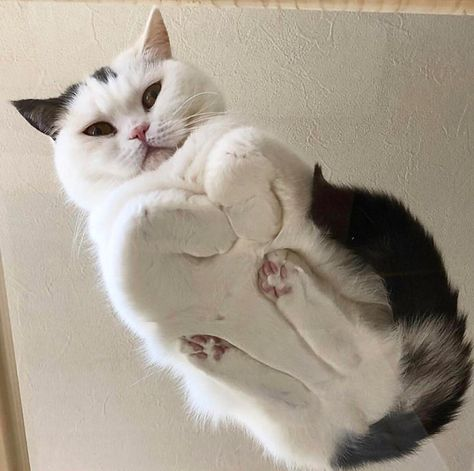 Funny cute cat on a glass table.  For the love of cats and kitties. #cat #cats #kitties #catlover #kittens #cute