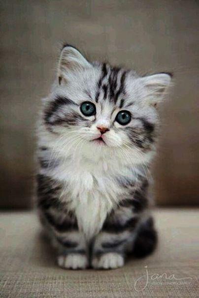 Kittens Meowing In Bathtub Their Kittens For Sale Gainesville Fl Kittens Cutest Cute Fluffy Kittens Cute Animals