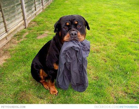 How To Train Puppy No Biting In 2020 Rottweiler Love Rottweiler Rottweiler Dog