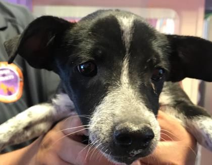 Animal Id 39314842 Species Dog Breed Dachshund Miniature Smooth