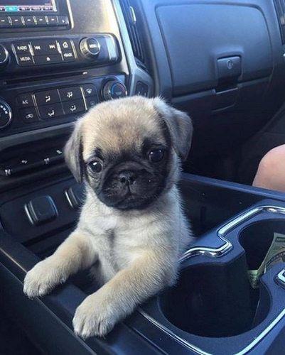 Photo Puppies Baby Pugs Cute Pug Puppies