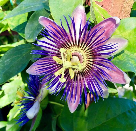 One Of The Purple Varieties Of Passionflower Oc Avec Images Passiflore