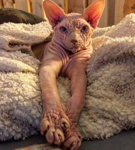 Grumpiest Looking Cat Is Actually Super Sweet In 2020 Sphynx Cat British Shorthair Cats Cats And Kittens