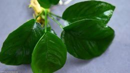 Anubias Barteri Plant Types Care Propagation Algae Plants Planted Aquarium Aquatic Plants