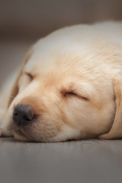 How To Train A Labrador Puppy To Sleep Through The Night