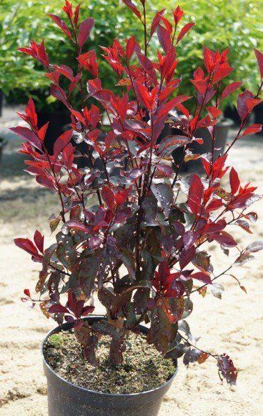 Zwerg Blutpflaume Kaufen Garten Von Ehren Beste Qualitat Seit 1865 Gunstige Preise Riesenauswahl Kauf Auf Rechnung Blutpflaume Pflanzen Pflaume