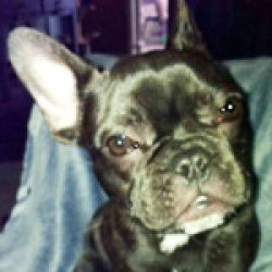 Twigs Is An Adoptable French Bulldog Dog In Cedar Grove Nj Twigs